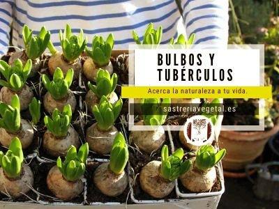 tubérculos cultivo