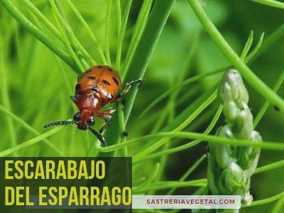 Escarabajo del Esparrago