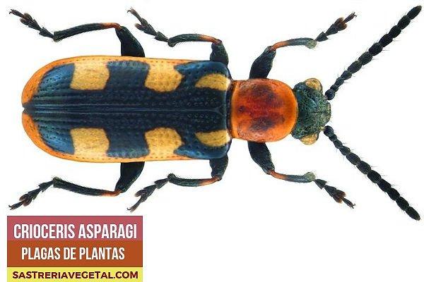 Escarabajo del Esparrago, Plaga de Plantas
