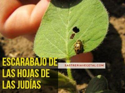 Escarabajo, Hojas de la Judias