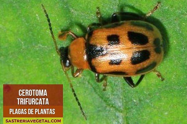 Escarabajo-Judías, Plaga de las Plantas