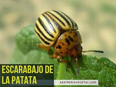 Escarabajo de Papa