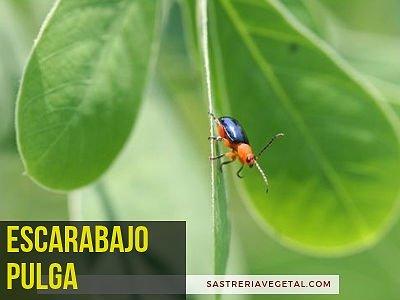 Escarabajo Pulga