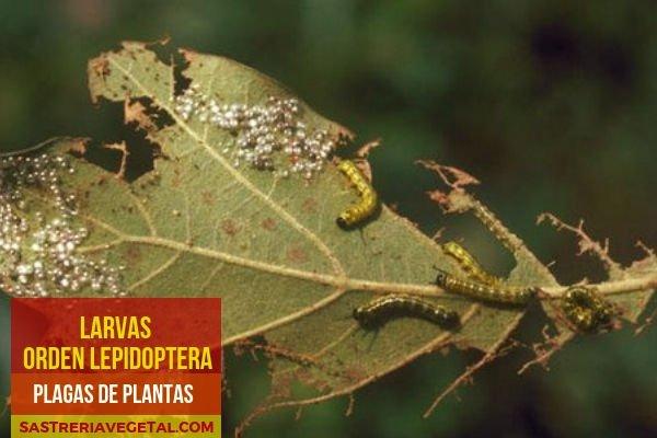 Orugas- Larvas, Plagas de Plantas