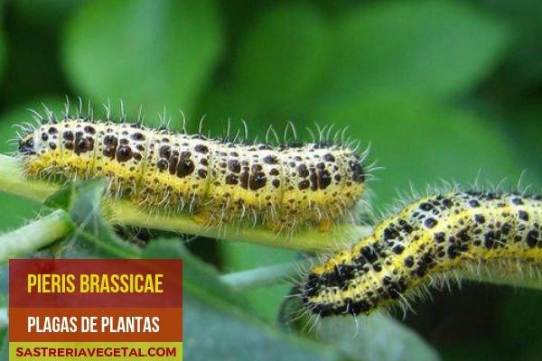 Larvas de a Mariposa de la Col, Plaga de Plantas