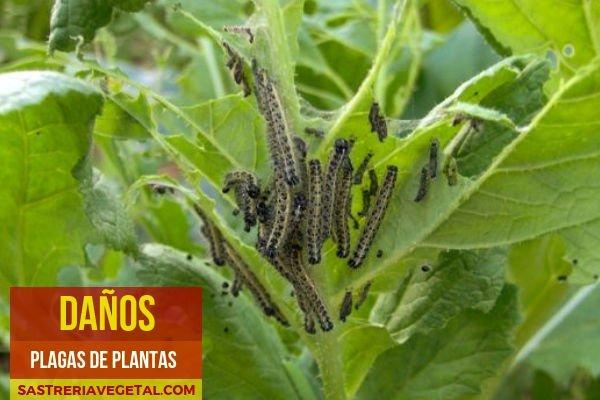 Pieris brassicae, Daños