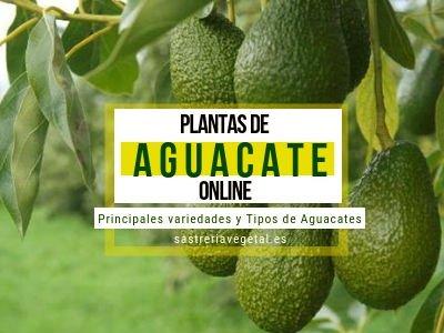 Aguacate, Comprar Plantas