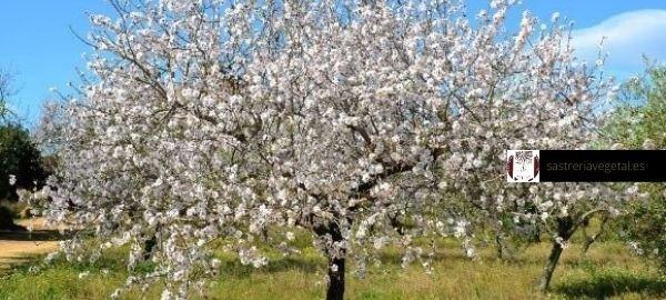 plantones de almendro de la variedad Marcona