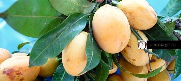 plantas de mango online