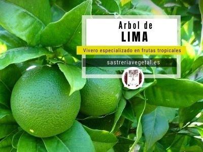 Lima Árbol