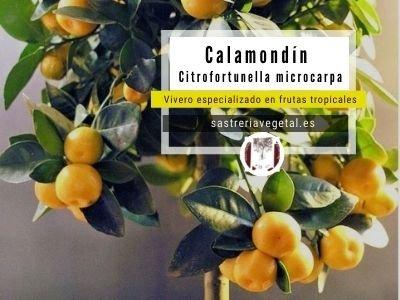 Calamondin